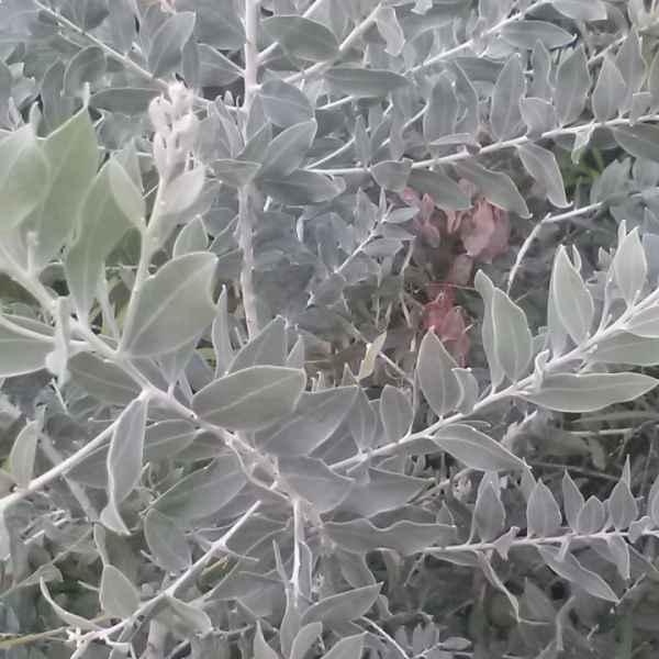 ACACIA podalyriifolia sin. A. motteana - Australia