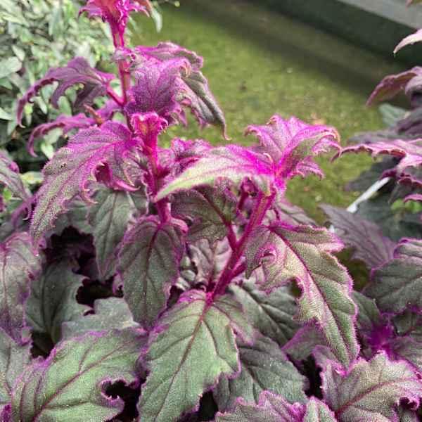 GYNURA aurantiaca Purple Passion - Orticola