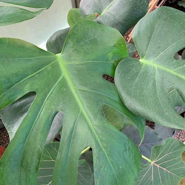 MONSTERA deliciosa sin. PHILODENDRON pertusum - Messico