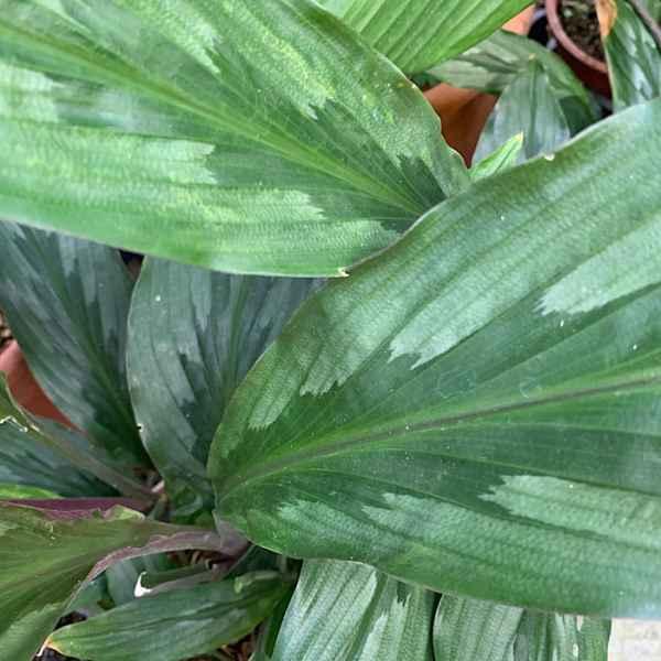 KAEMPFERIA rotunda - Asia tropicale
