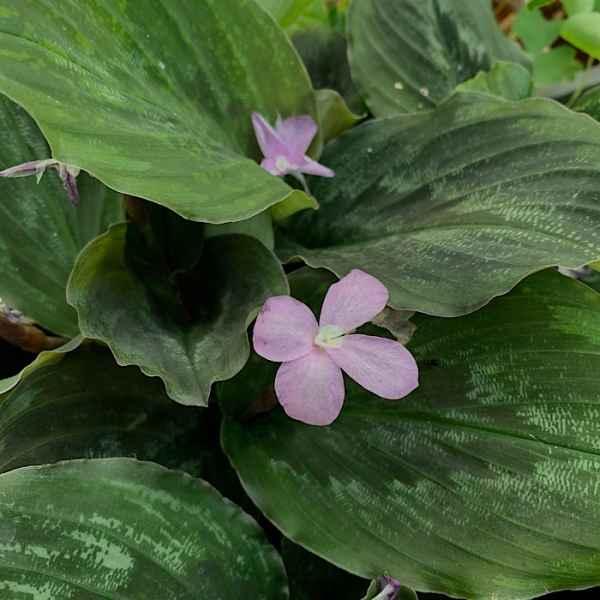 KAEMPFERIA pulchra - Asia tropicale