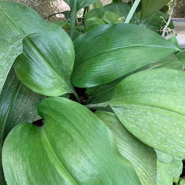 EUCHARIS grandiflora  GIGLIO dell' AMAZZONIA - Amazzonia