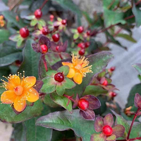 HYPERICUM inodorum Miracle Favorite Night - Orticola