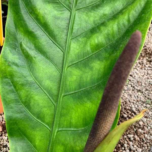 ANTHURIUM Jungle Bush - Orticola