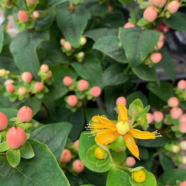 HYPERICUM inodorum Miracle Blossom - Orticola
