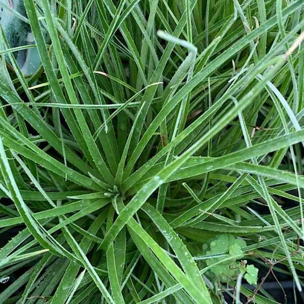 FASCICULARIA bicolor - Patagonia