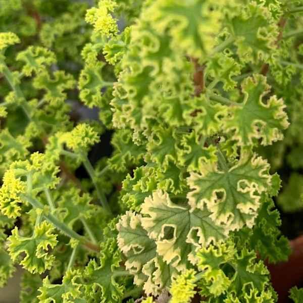 PELARGONIUM crispum Variegatum - S Africa