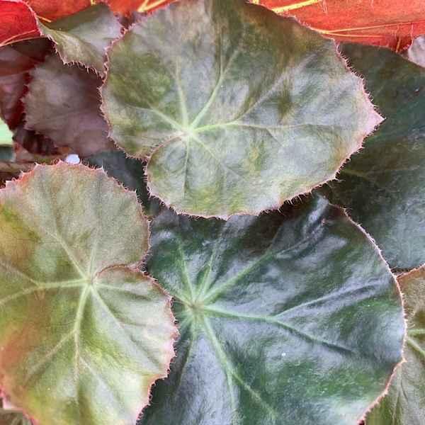 BEGONIA erythrophylla BEEFSTEAK - Brasile
