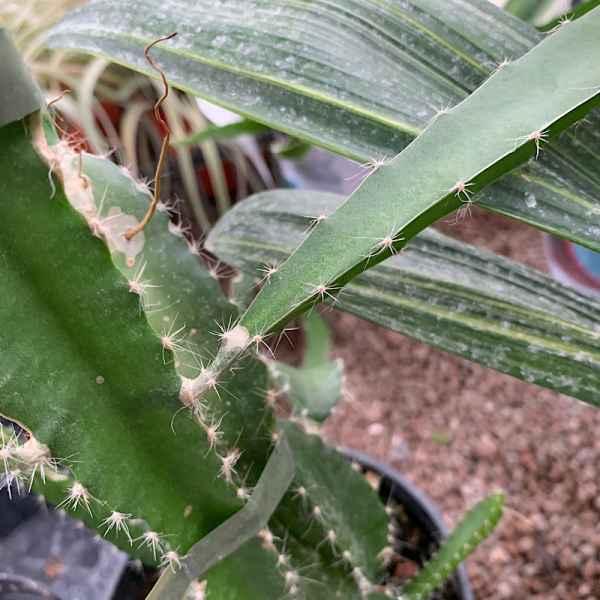 HYLOCEREUS undatus PITAYA ROSSA - Messico