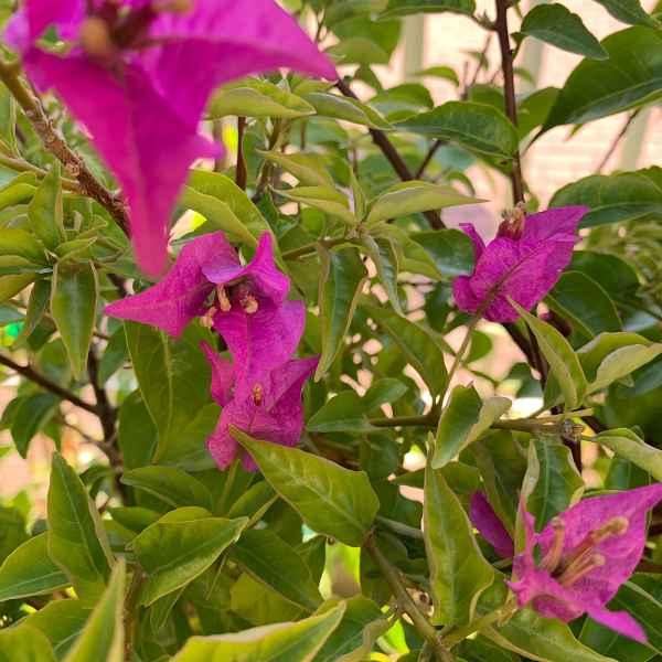 BOUGAINVILLEA glabra Sanderiana - Brasile
