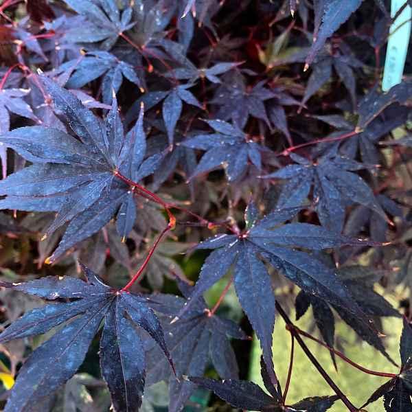 ACER palmatum Bloodgood - Orticola