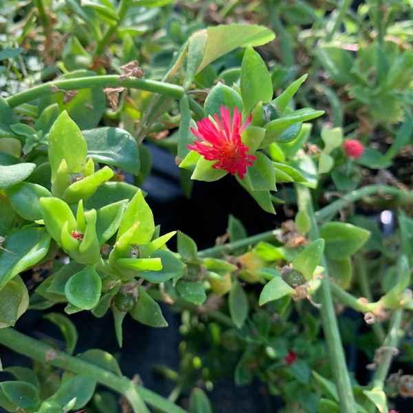 APTENIA cordifolia - S Africa