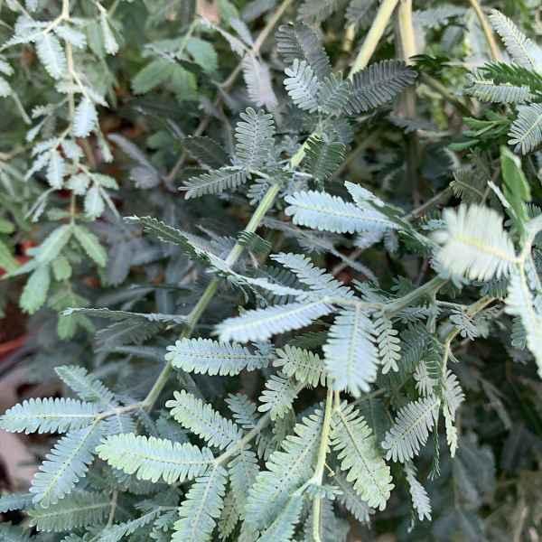 ACACIA baileyana Prostrata - Australia