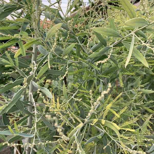 ACACIA hanburyana - Australia