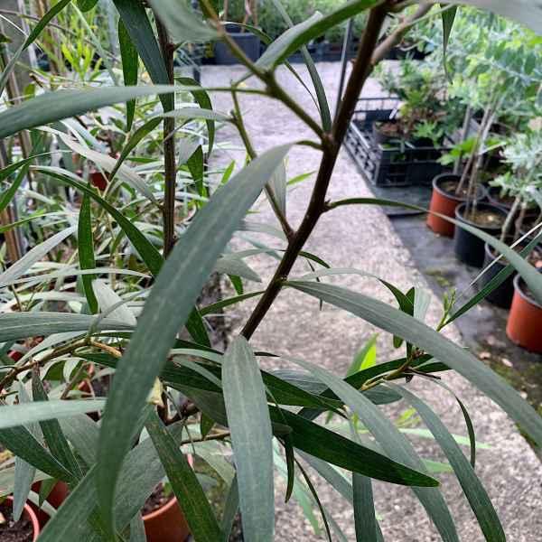 ACACIA longifolia BEGA D' ORO - Australia