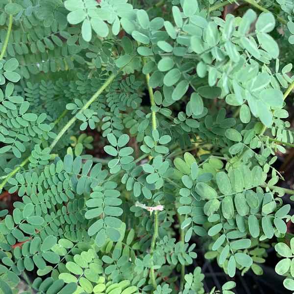 ACACIA spectabilis - Australia