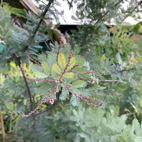 ACACIA baileyana Purpurea - Australia
