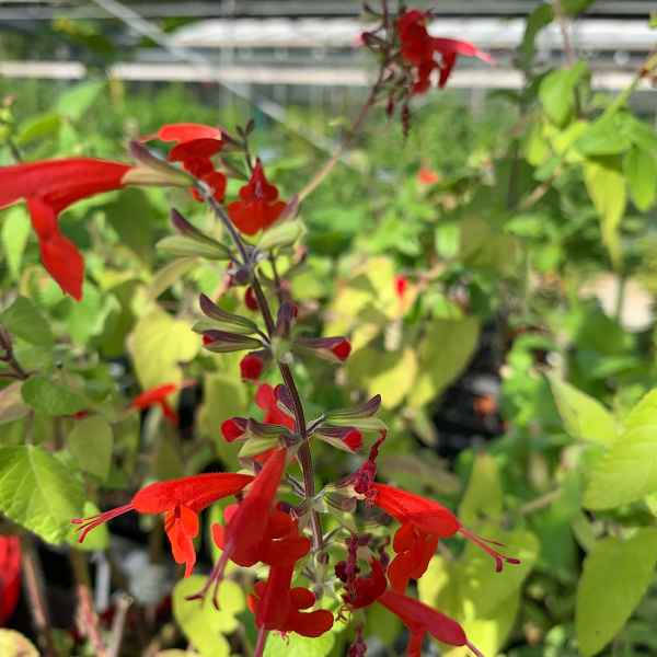 SALVIA coccinea Lady in Red - Orticola