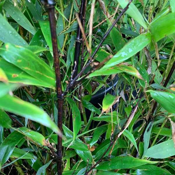 PHYLLOSTACHYS nigra  BAMBOO NERO - Cina