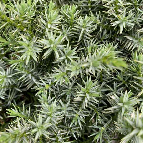 JUNIPERUS chinensis Blue Alps - Orticola
