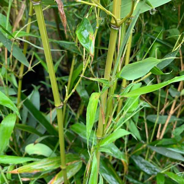PHYLLOSTACHYS bissetti BAMBOO VERDE - Cina