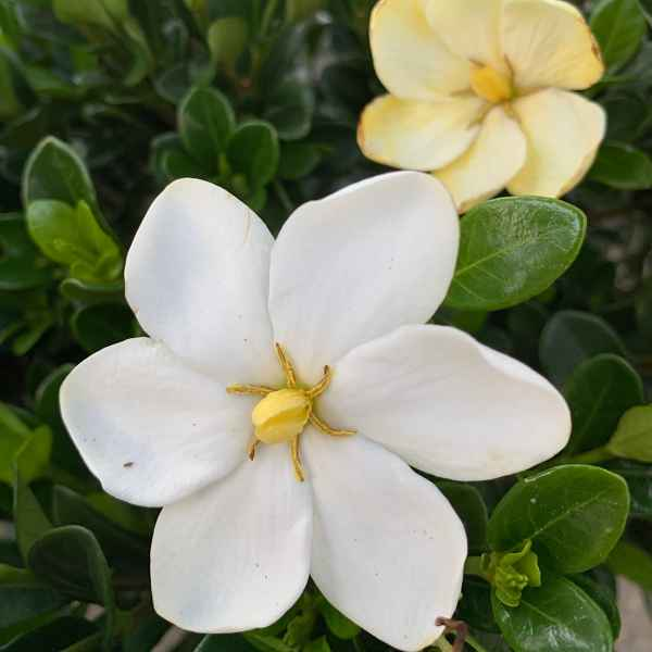GARDENIA jasminoides Kleim's Hardy - Orticola