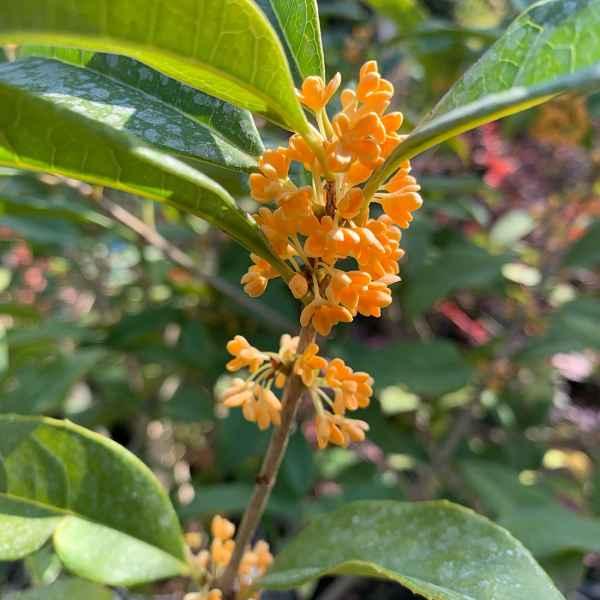 OSMANTHUS fragrans aurantiacus - Cina