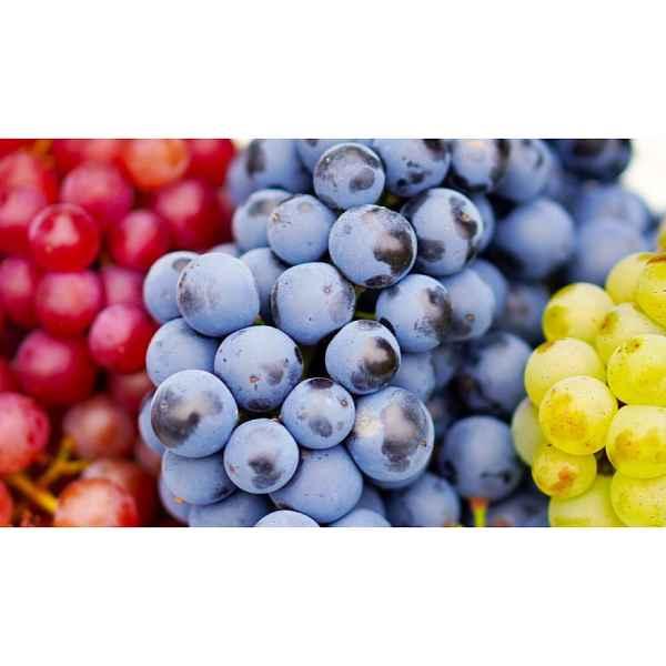 VITIS vinifera Fragola Bianca 10/9 - Orticola