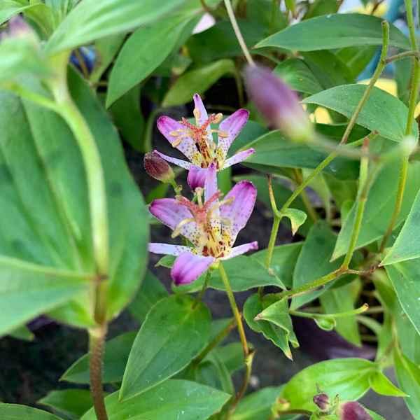 TRICYRTIS formosana - Giappone