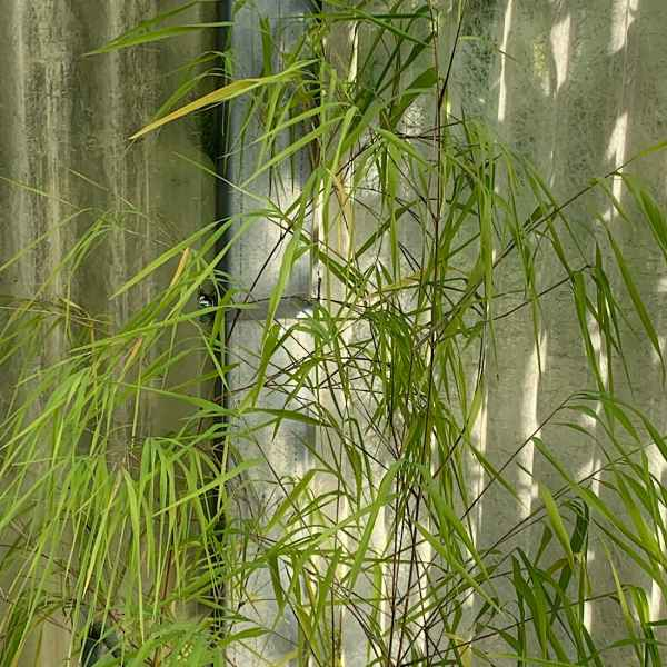 OTATEA acuminata sin. O. aztecorum - Messico