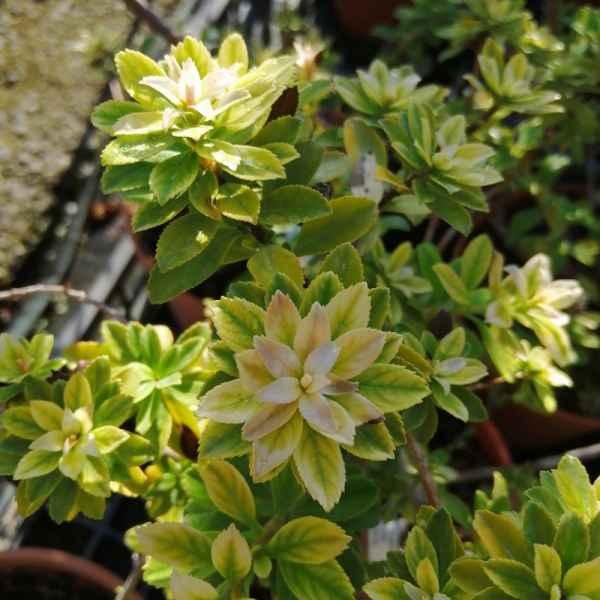 ESCALLONIA Apple Blossom - Cile