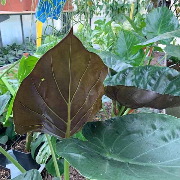ALOCASIA wentii - Malesia