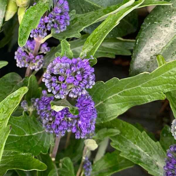 CARYOPTERIS x clandonensis Grand Blue - Orticola