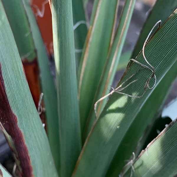 HESPEROALOA parvifolia - Messico