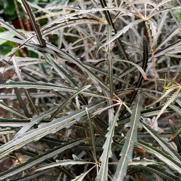 DIZYGOTHECA elegantissima sin. SCHEFFLERA - Polinesia