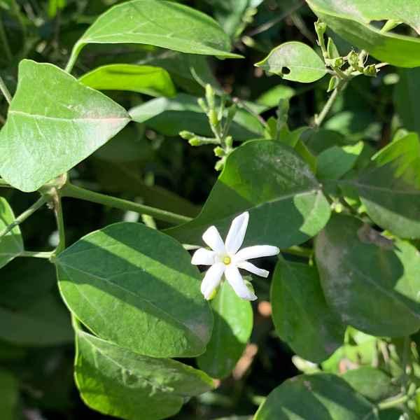 JASMINUM simplicifolium - Australia