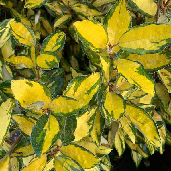 ELAEAGNUS x ebbingei Limelight - Orticola
