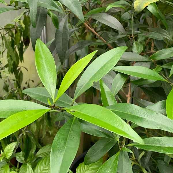 BRUNFELSIA undulata - India