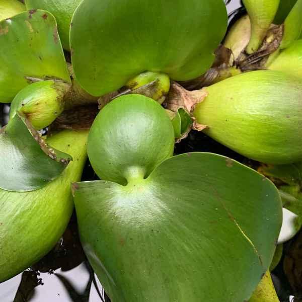 EICHHORNIA crassipensis GIACINTO D'ACQUA - Amazzonia