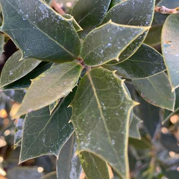 OSMANTHUS heterophyllus - Taiwan