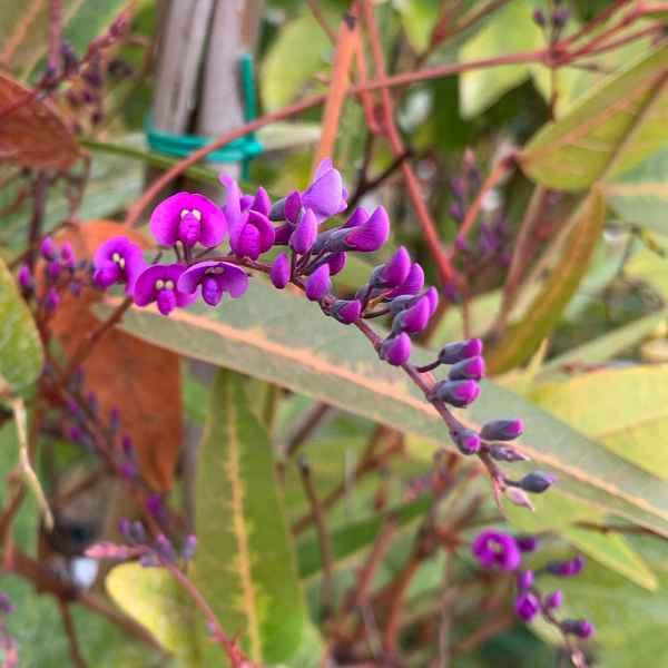 HARDENBERGIA violacea  sin. H. monophylla - Australia