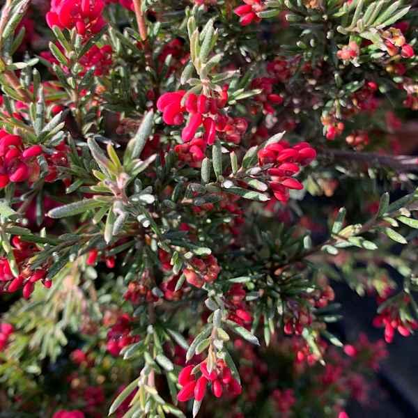 GREVILLEA juniperina CVE - Orticola