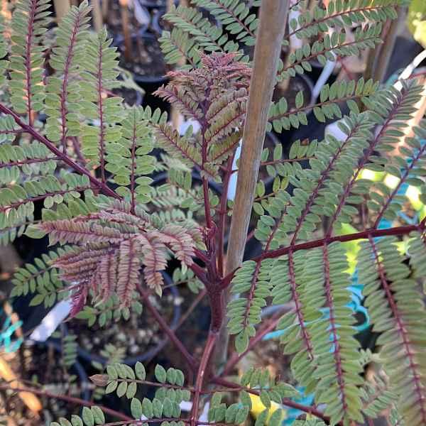 JACARANDA mimosifolia - Bolivia