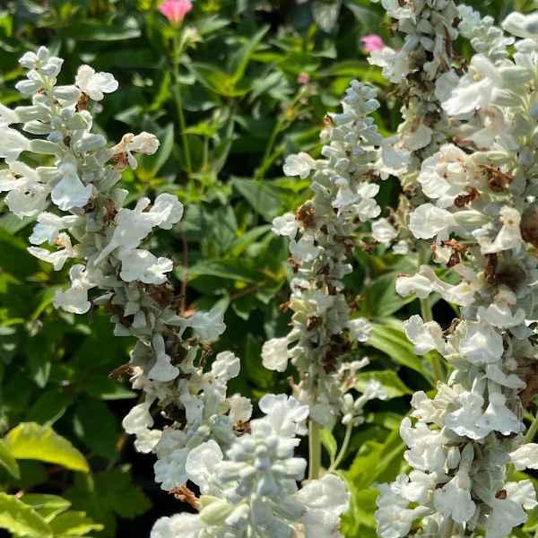 SALVIA farinacea Alba - Texas