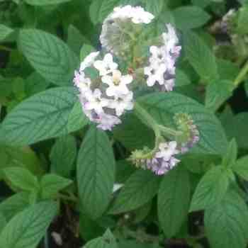Arbusto - HELIOTROPIUM arborescens  sin. H. peruvianum in vendita