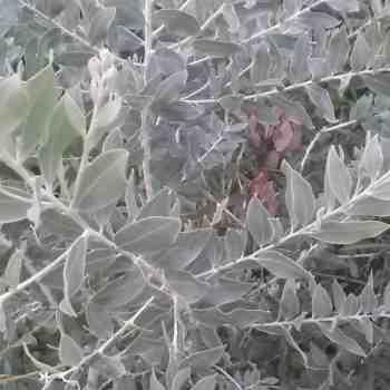 ACACIA podalyriifolia sin. A. motteana in vendita