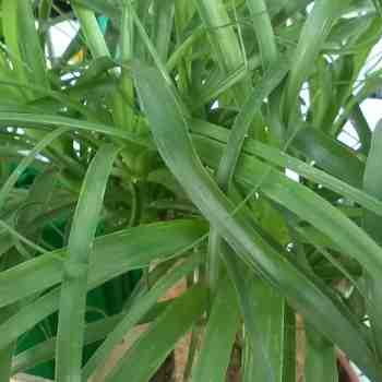 Arbusto - BEAUCARNEA recurvata  ZAMPA di ELEFANTE