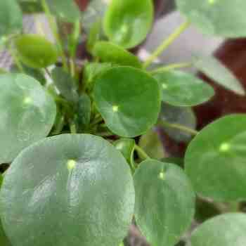 PILEA peperomioides in vendita