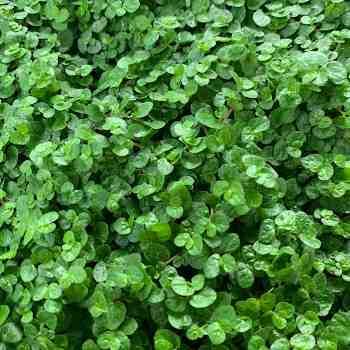 Erbacea - HELXINE soleirolii in vendita