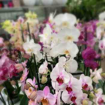 Orchidea - PHALAENOPSIS hybrid in vendita